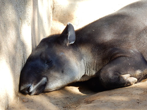 San Diego Zoo - tapir