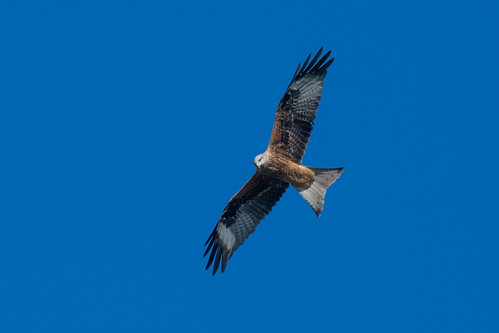 Milan royal Milvus milvus - Red Kite