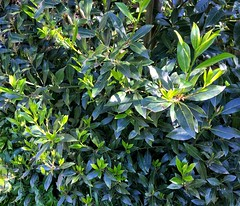 Bay leaf tree, good for stews and  curries
