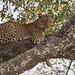 Leopard (female) (5 of 8)