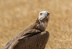 Lappet-faced Vulture, Senegal