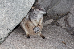 Allied rock wallaby with joey