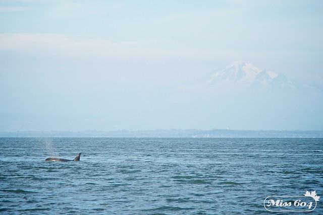 Whale Watching Orcas/Killer Whales