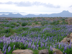 prairie, steppe, flower, plain, lavender, wildflower, flora, meadow, bluebonnet, grassland,