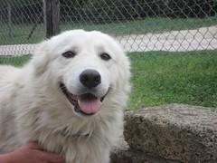 dog breed, animal, polish tatra sheepdog, dog, pet, maremma sheepdog, slovak cuvac, carnivoran, great pyrenees,