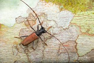 Longhorn beetle (Jupoata rufipennis) - DSC_3325