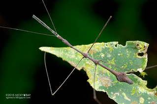 Thread-legged assassin bug (Emesinae) - DSC_7944
