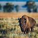 Bull bison by Natures Wildscapes by Trey Neal