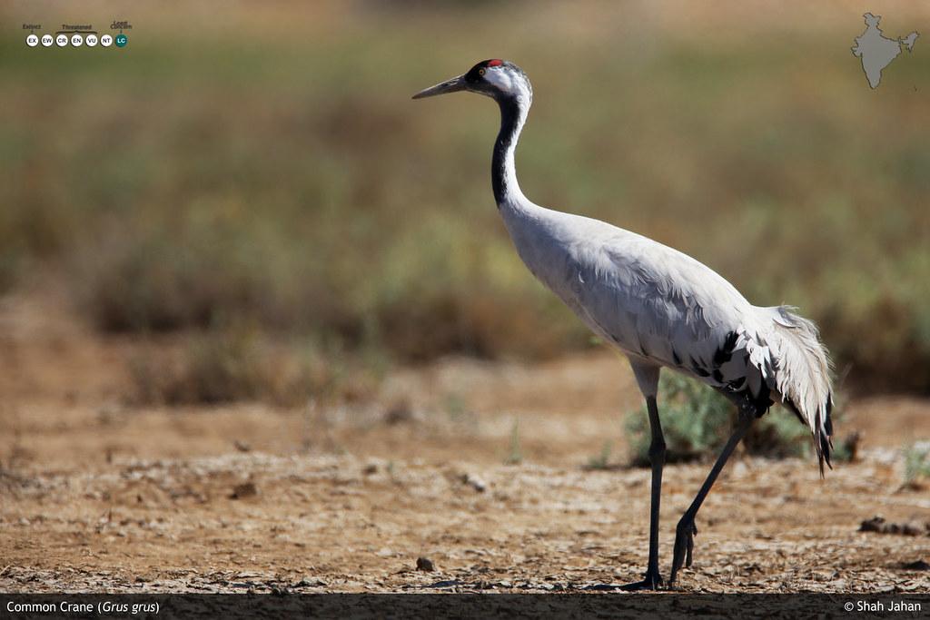 Common Crane II