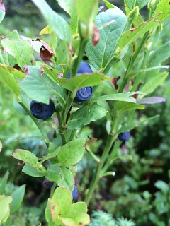 Blueberries, Blaubeeren, Heidelbeeren