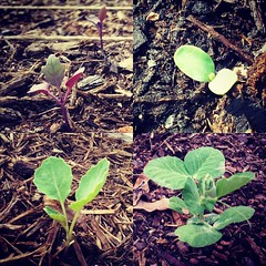 Babies from the garden starting from top left clockwise: Vienna purple kohlrobi, flax, karina peas and Georgia collard greens. #gardening #garden #raisedbeds #organic #nogmo #heirloom #plants #food #vegetablegarden