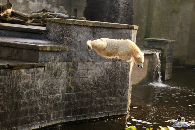 Eisbär Fiete im Zoo Rostock 31.10.2015 Teil 1  0107