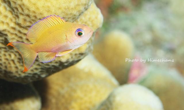 美しいケラマハナダイ幼魚