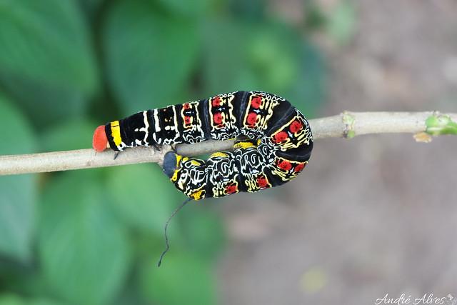 Lagarta psicodélica / Psychedelic caterpillar (Isognathus caricae)