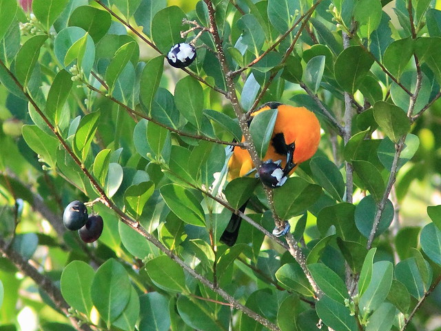Spot-breasted Oriole eating cocoplum 02-20151202