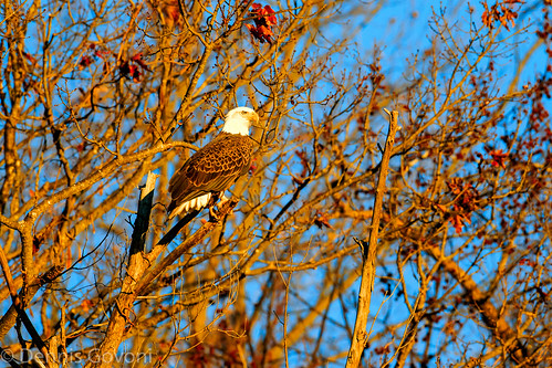 bird sunrise eagle wildlife raptor jamesriver
