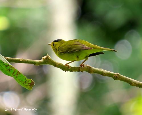 wilsoniapusilla chipecoronanegra wilsonwarbler avesdeelsalvador jardinbotonico plandelalaguna