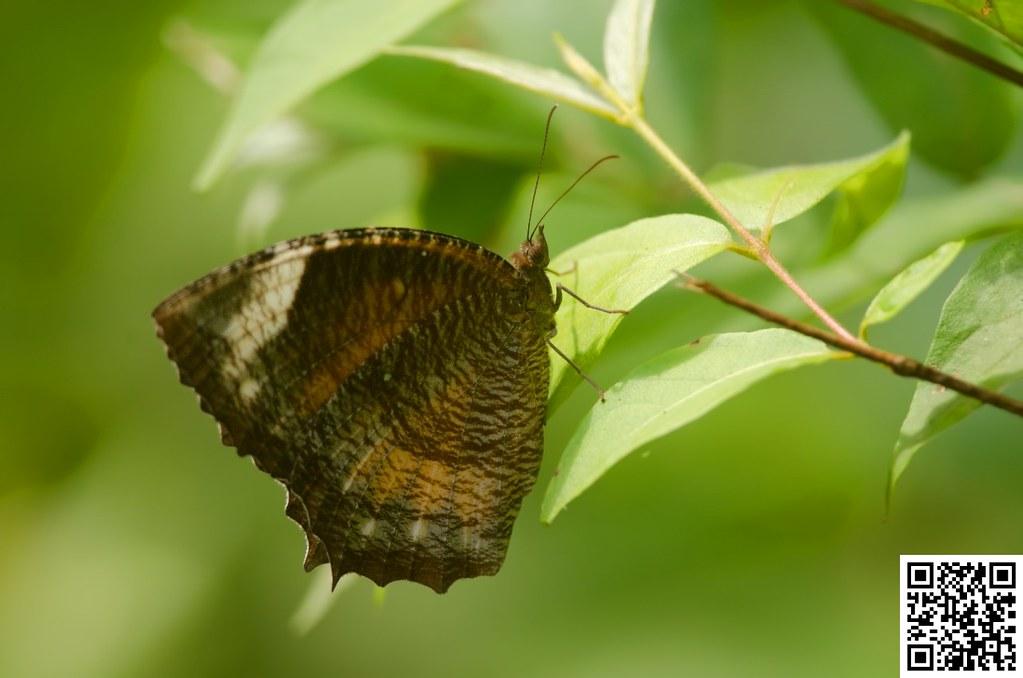 Palmfly