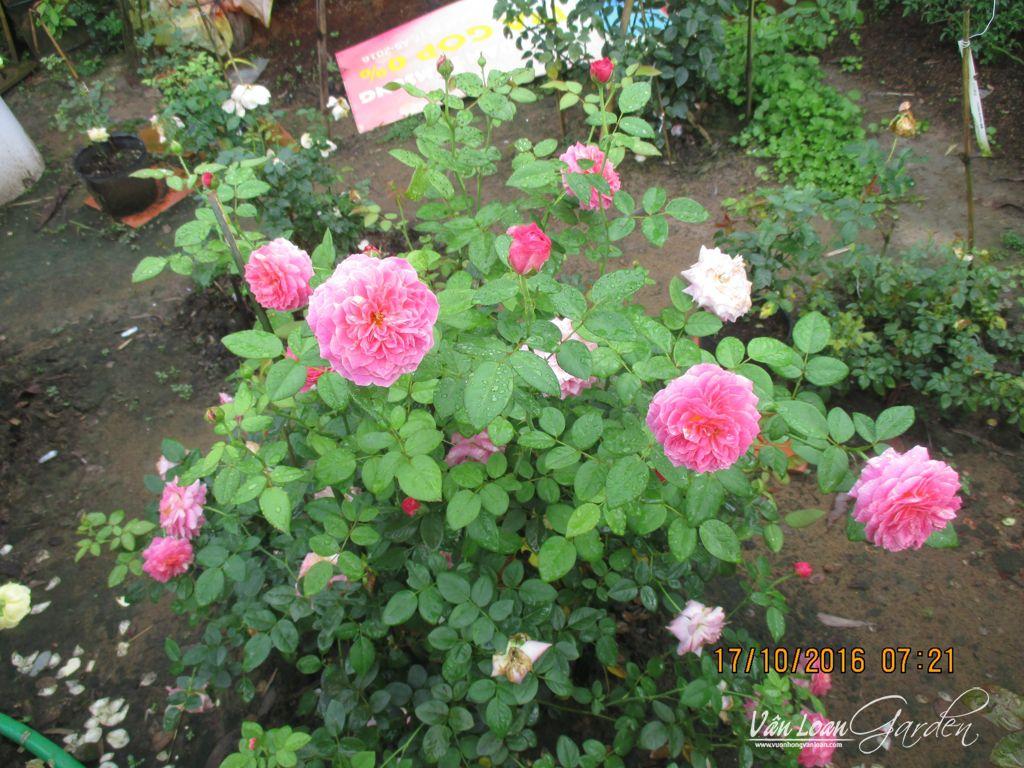 hoa hong ngoai claude monet (3)-vuonhongvanloan.com