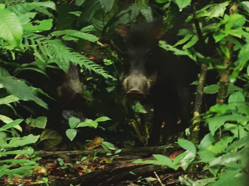 Wild pigs - Madidi National Park - Amazon forest - Bolivia