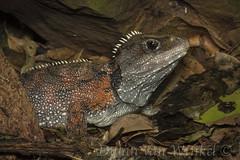 Sphenodon punctatus_DvW2016-1487-2
