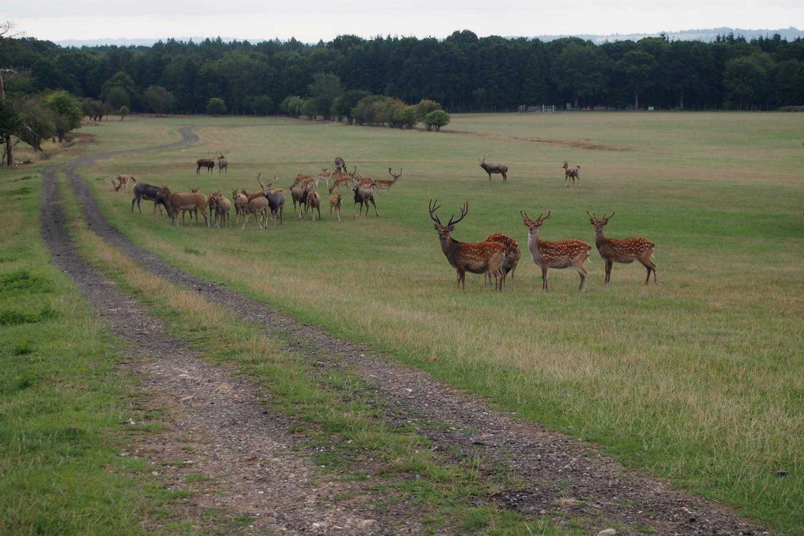 Deer at Roydon Hall