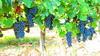 Shiraz-Grapes-Cyprus-Fikardos by Fikardos Winery