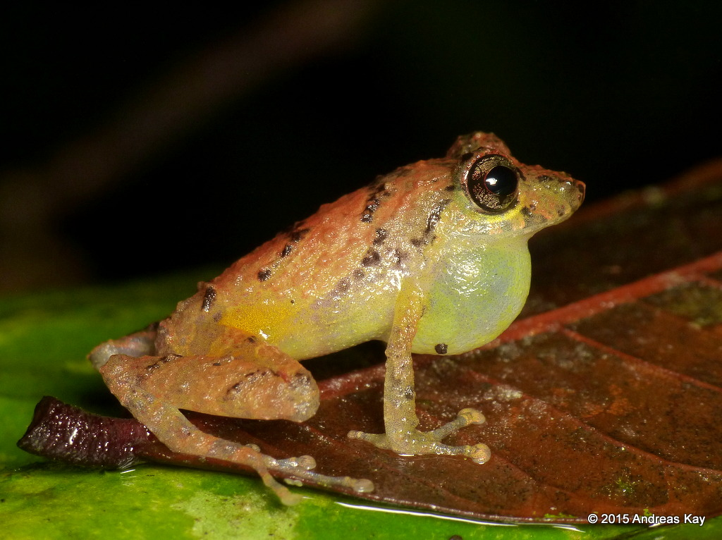 Yellow-groined Rainfrog, Pristimantis luteolateralis