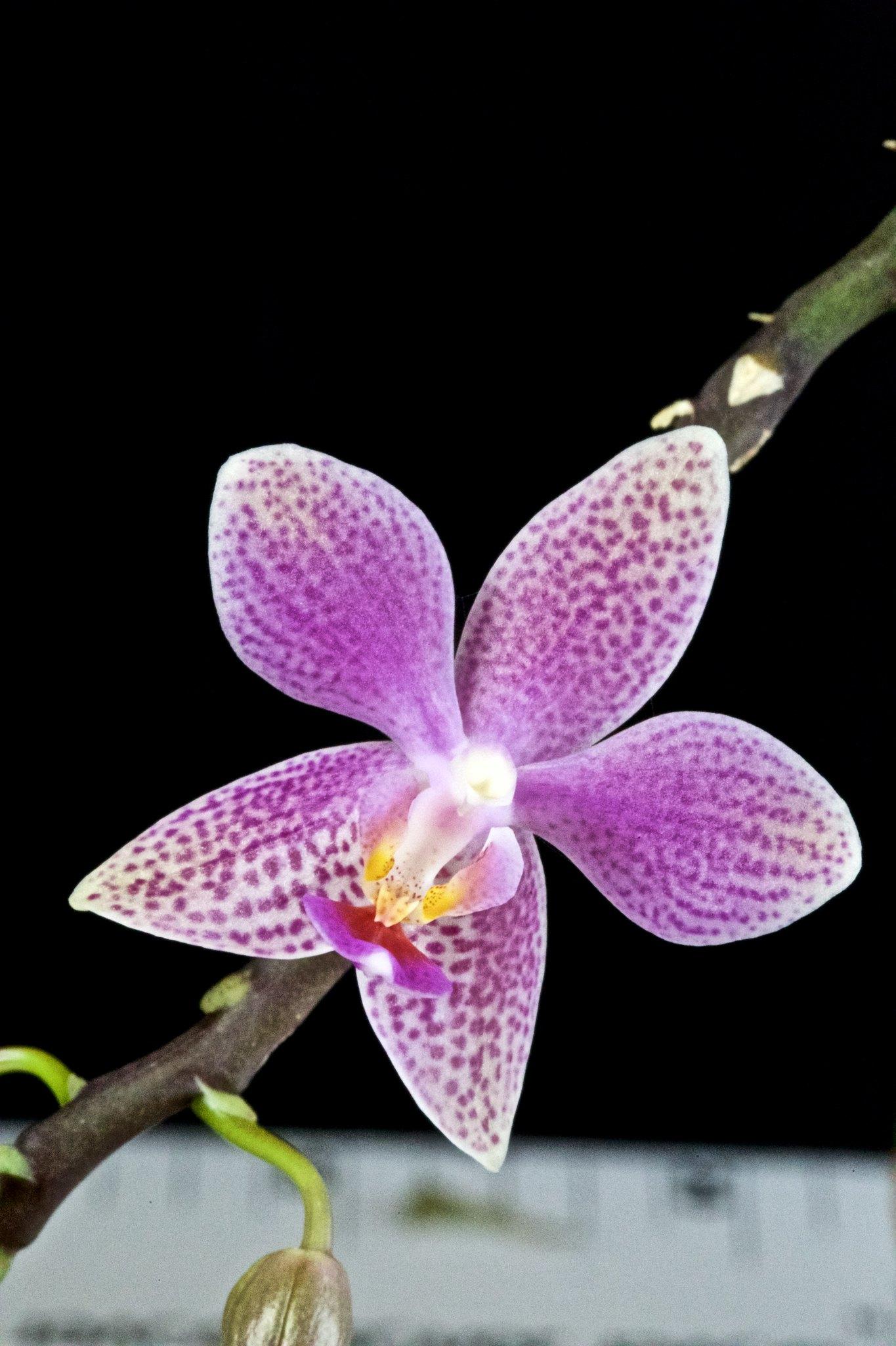 Phalaenopsis Bernice Maskin 20597840221_ab7320af47_k