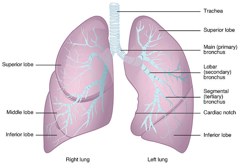 2312_Gross_Anatomy_of_the_Lungs