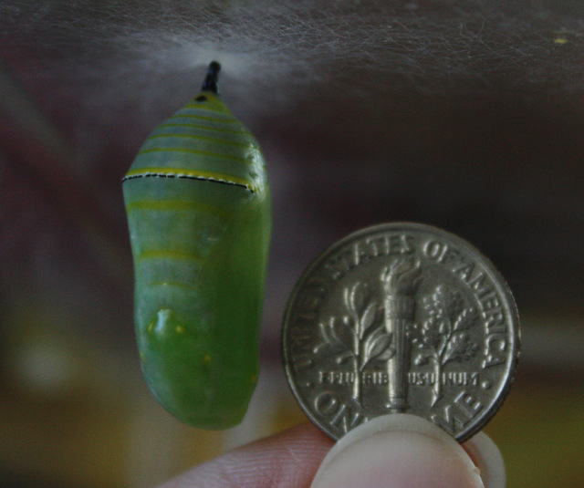 chrysalis still with stripes, about 1.5 times the diameter of the dime