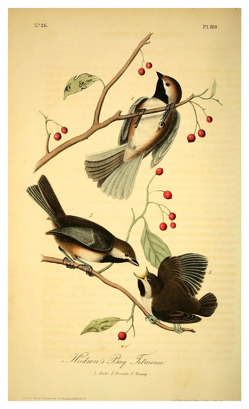 009-Carboneros de la bahia de Hudson- Vol2-1840-The birds of America…J.J. Audubon