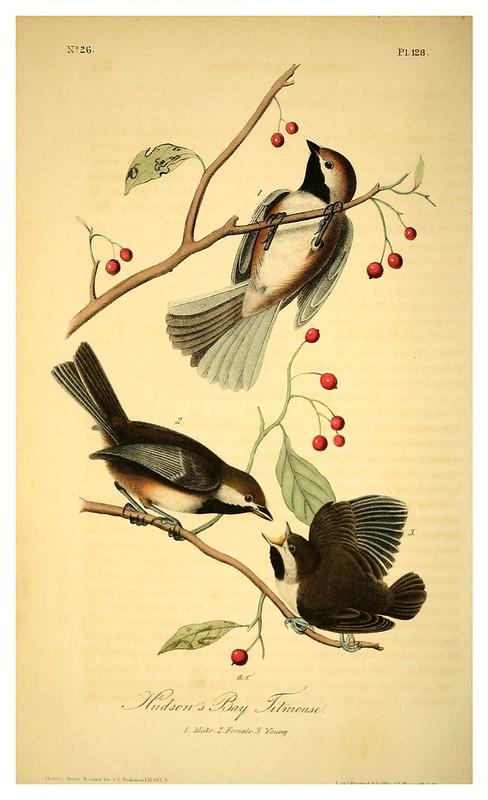 009-Carboneros de la bahia de Hudson- Vol2-1840-The birds of America…J.J. Audubon