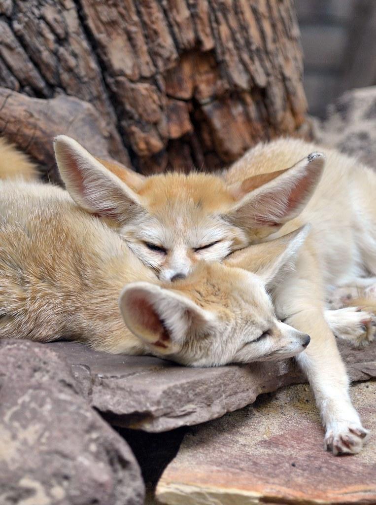 Fennec Fox Amsterdam Zoo 2