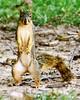 Squirrelus Erectus by brev99