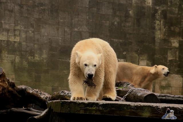 Eisbär Fiete im Zoo Rostock 17.10.2015  01