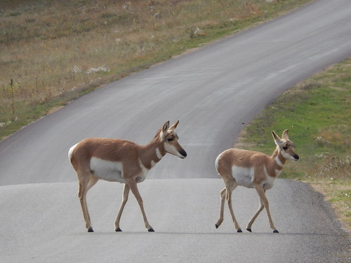 Custer State Park - pronghorns - 2