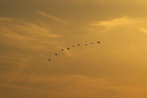 sunset bird japan 日本 migratory column 夕暮れ 鳥 夕焼け 渡り鳥 夕