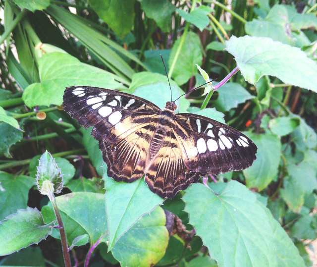 15 vivatramp somerset butterfly