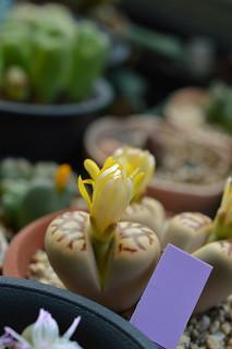 DSC_1444 Lithops dorotheae リトープス属 麗虹玉 (れいこうぎょく)