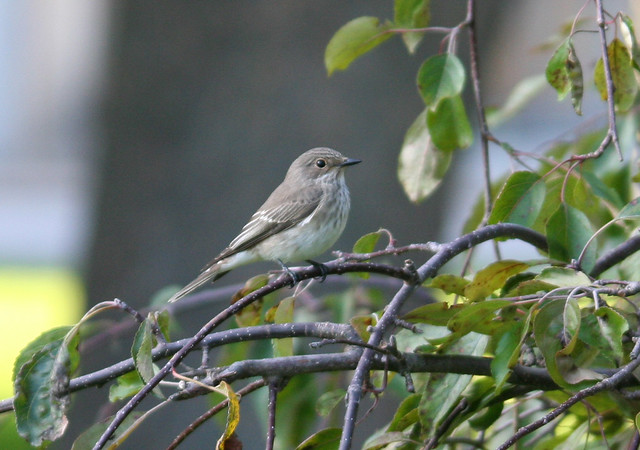 Spotted Flycatcher in Malmö