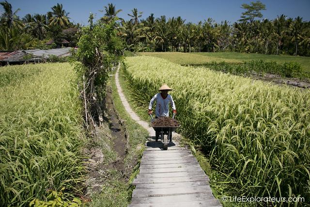 ubud-rice-paddies-farm
