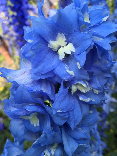 Larkspur (closeup)