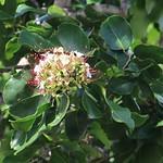 Intsia bijuga flowers