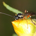 Small photo of Parastici wasp - Diplazon laetatorius