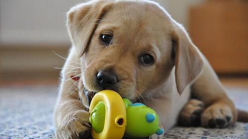 O labrador é muito brincalhão agradável resistente e ativo (3)