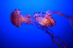 Dancing Jellies