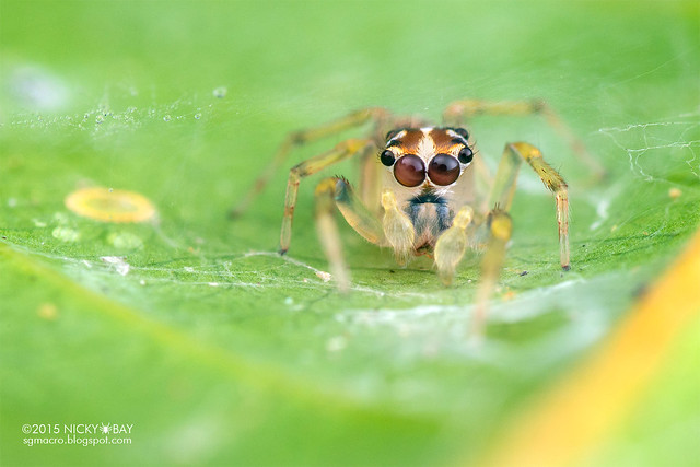 Jumping spider (Salticidae) - DSC_0834
