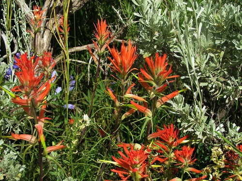 flowers rural colorado sage wildflowers indianpaintbrush uncompahgreplateau