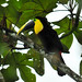 Ramphastos brevis - Photo (c) Albert Michaud, algunos derechos reservados (CC BY-NC-SA)